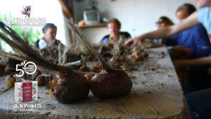 Καλλιέργεια του Κρόκου στα χωράφια των αγροτών του Α.ΣΥΝ.ΚΡΟ.ΚΟ